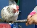 רק תרנגולת