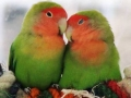Lovely-Love-Birds